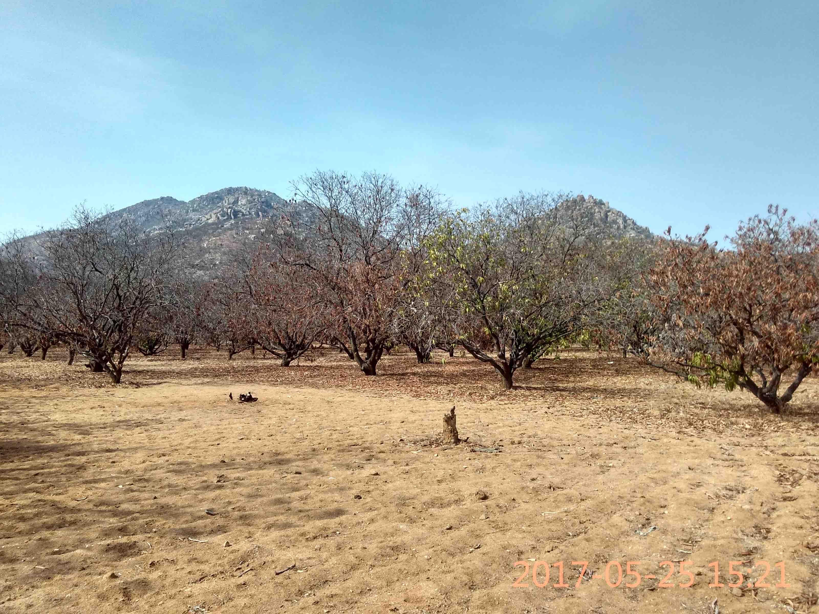 Dead mango trees in the fields of Chinni Krishnaiah and Janardhan in Bucchayyavaripalle, in Bhukkapatnam mandal of Anantapur district. Credit: Rahul Maganti