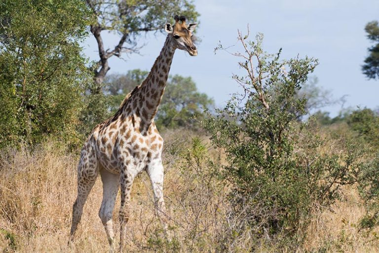 Giraffes are a graceful, colourful sight in Kruger. Credit: Justin Catanoso