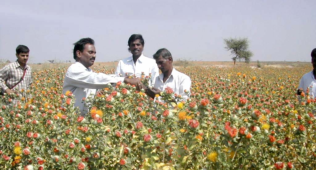 Despite Health Benefits, Safflower Cultivation Sees Drastic Fall