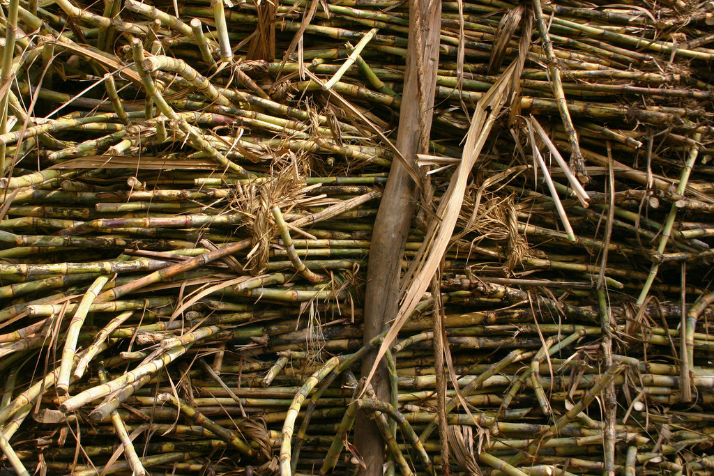 Sugarcane farmers are still owed Rs 2,637 crore in unpaid dues for the 2016-17 season. Credit: Bo Jayatilaka/Flickr CC BY-NC 2.0