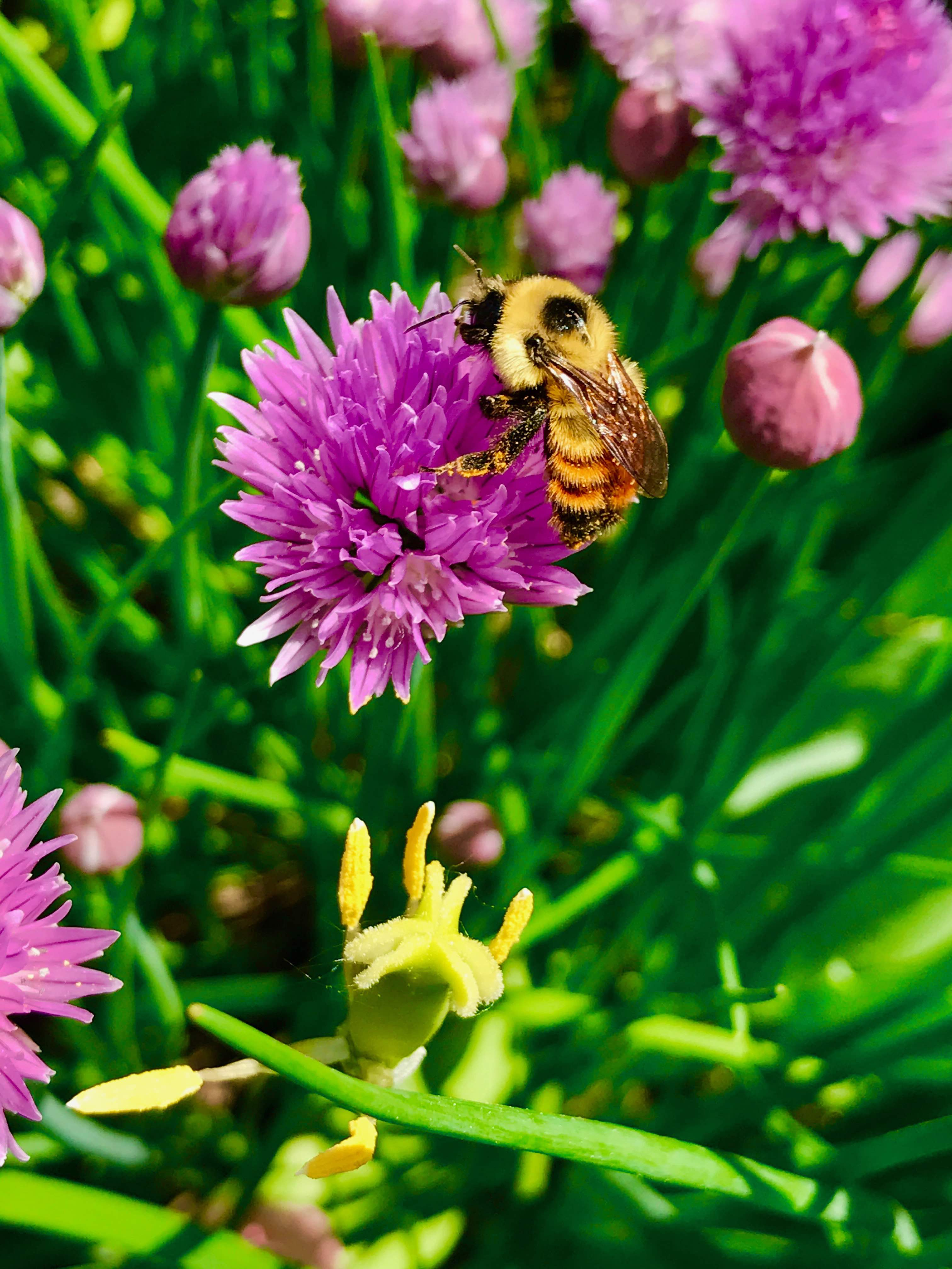 Bombus rufocinctus, the red-belted bumblebee, covered in pollen while visiting a chive flower in Ottawa, Canada. Credit: Jeremy T. Kerr