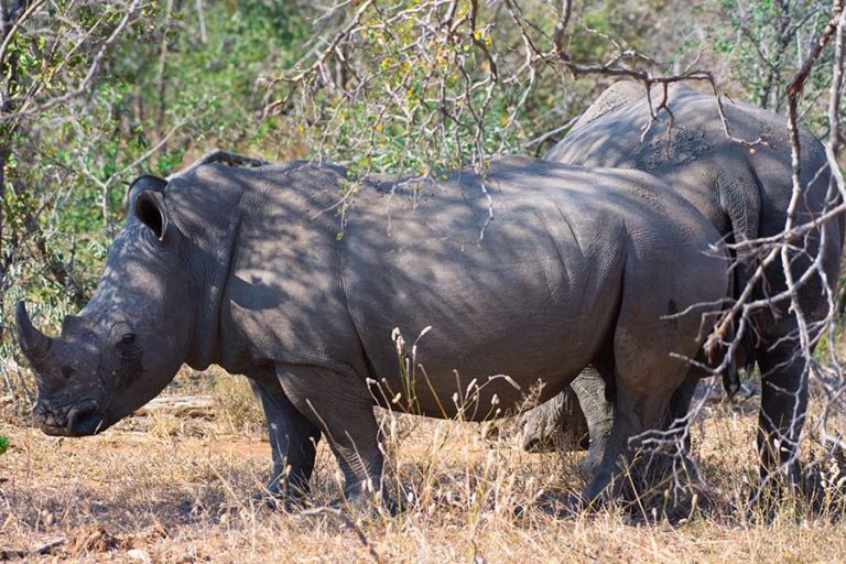 As many as three rhinos a day are poached for their valuable horns in and around Kruger despite massive anti-poaching efforts. Credit: Justin Catanoso