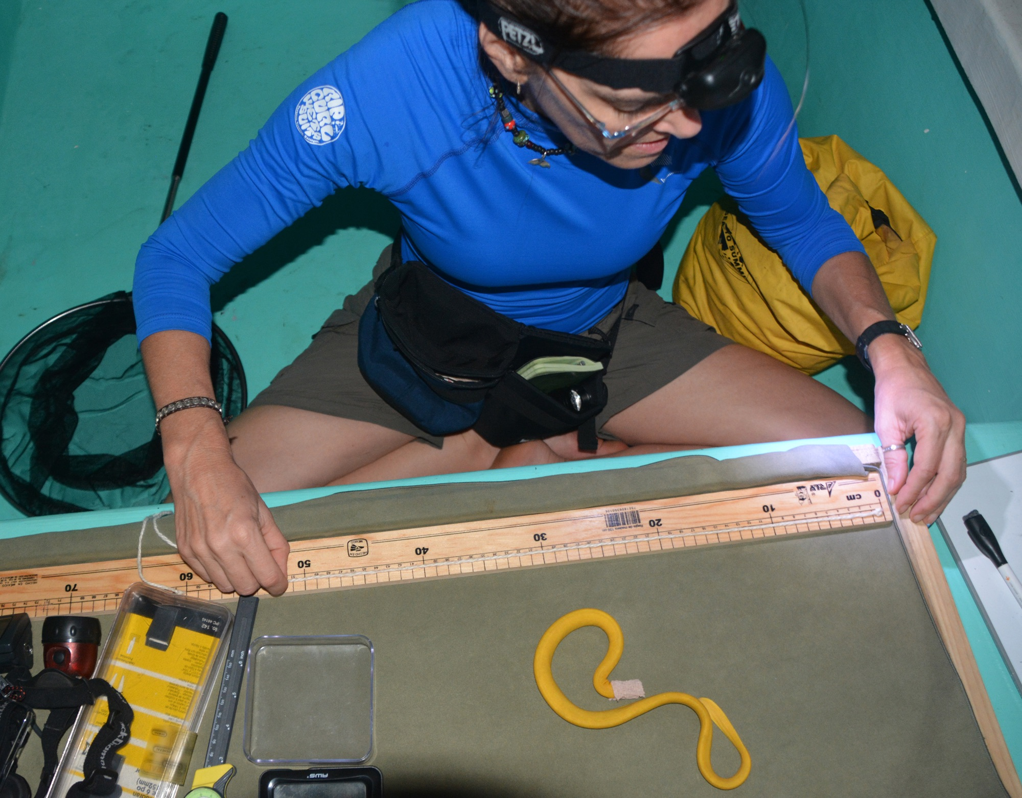 Brooke Bessesen measuring a yellow seasnake. Note the face mask around the snake's head to calm it down. Credit: Luis Nieto