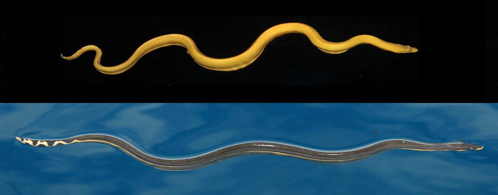 Yellow seasnake (top); yellow-bellied seasnake (below). Credit: Brooke Bessesen