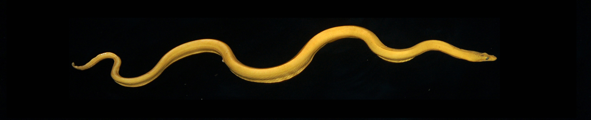 The Many Unique Features of the Yellow Seasnake – Such as Its Hunt