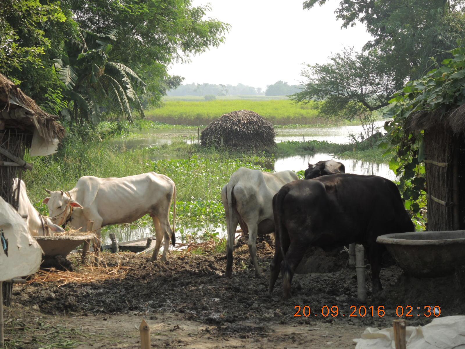 A waterlogged patch of land in a village in Kosi. Credit: Ranjeet Kumar Sahani