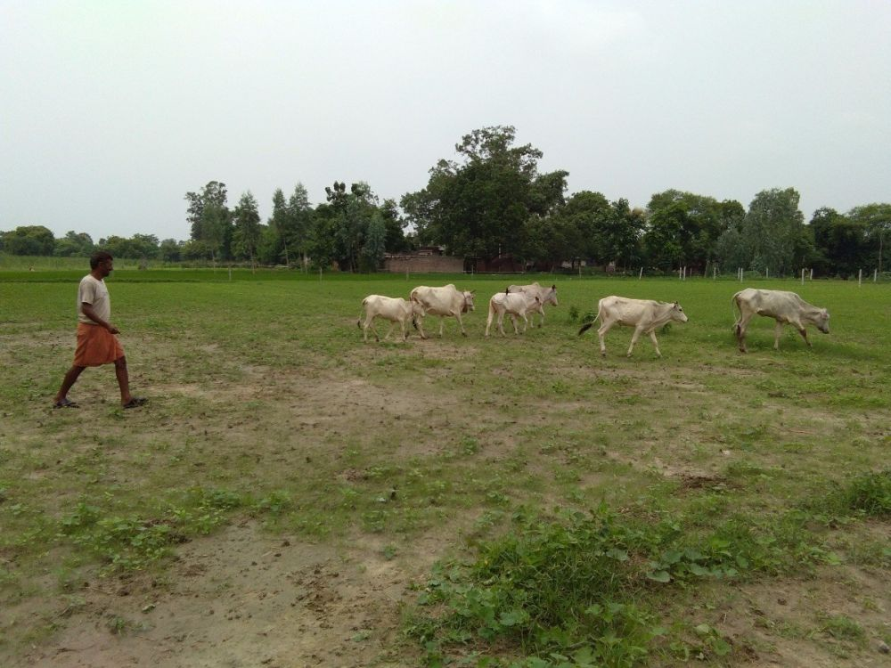 Stray cattle in a field. Credit: Krishna Kant/The Wire