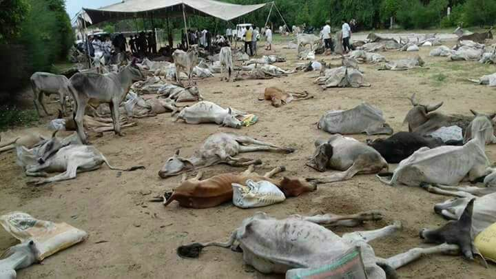 Thousands of cattle have died in the flood. Credit: Damayantee Dhar/ The Wire