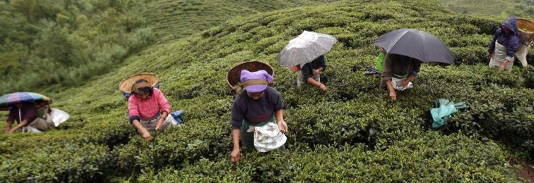 As Gorkhaland Agitation Continues, Darjeeling Tea Industry Takes a Big Hit