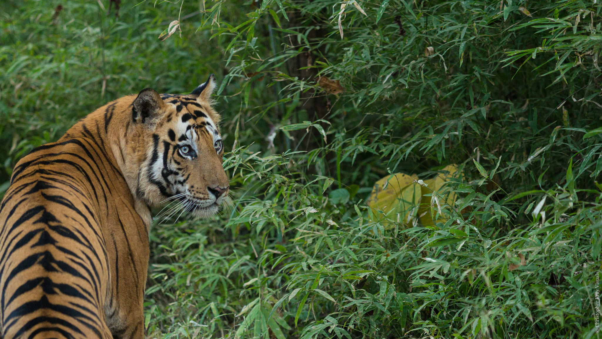 Goa: Tigress and Three Cubs Found Dead Over Four Days; Three Held