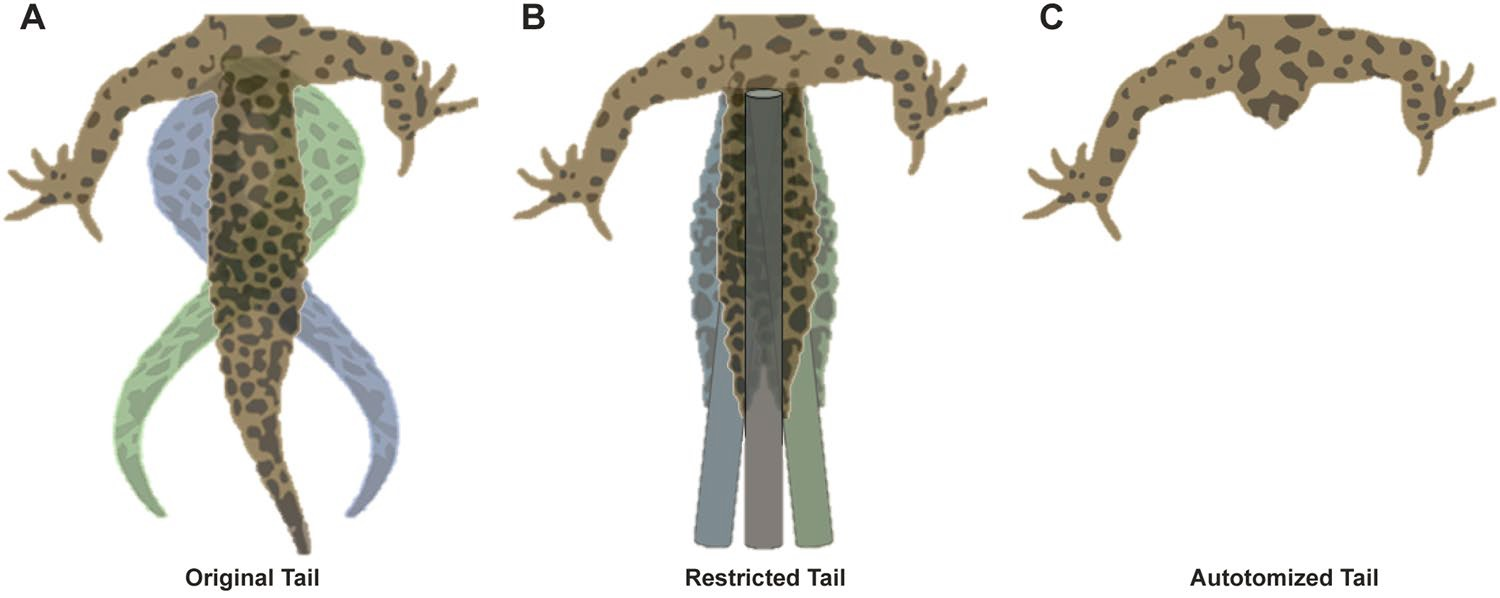 Tail movements under each experimental treatment: Intact tails swing side to side freely (A), when restricted with a stiff rod, movements are limited (B). Tail movement is non-existent after autotomy (C). Credit: doi:10.1038/s41598-017-11484-7