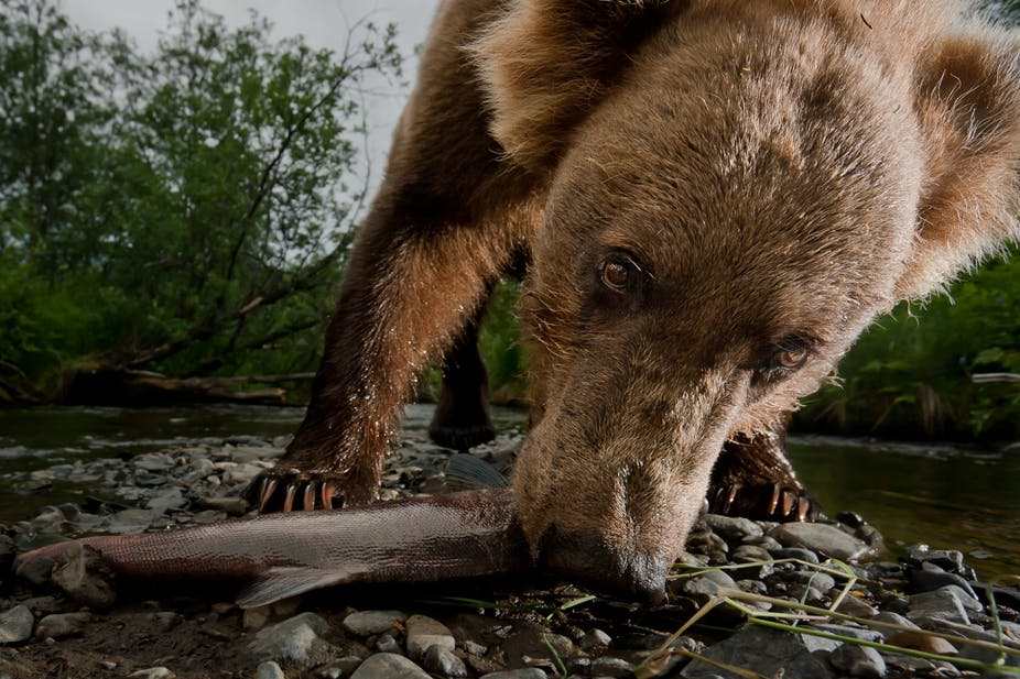 The Warming Climate Has Triggered Changes in Kodiak Bears' Diets. Here's Why That's Important