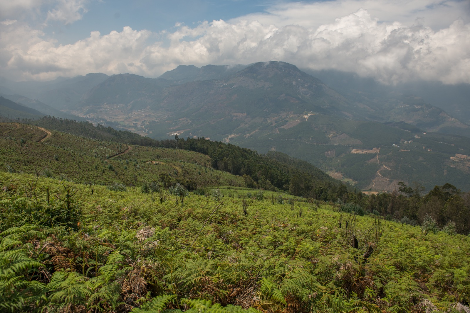 Weeds take over a cleared plantation at Kurinjimala restoration site (Munnar landscape, Kerala). Credit: Prasenjeet Yadav