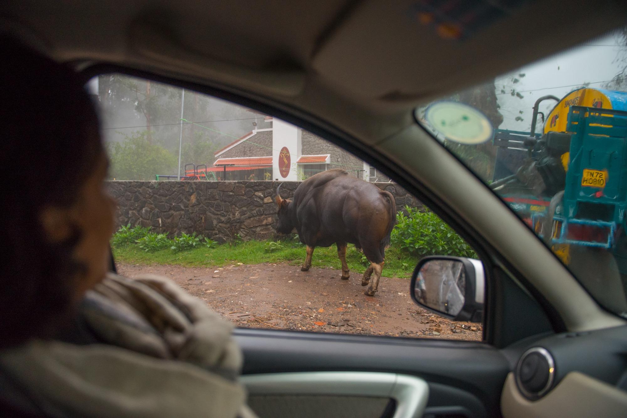 A gaur in Kodaikanal town. Credit: Prasenjeet Yadav