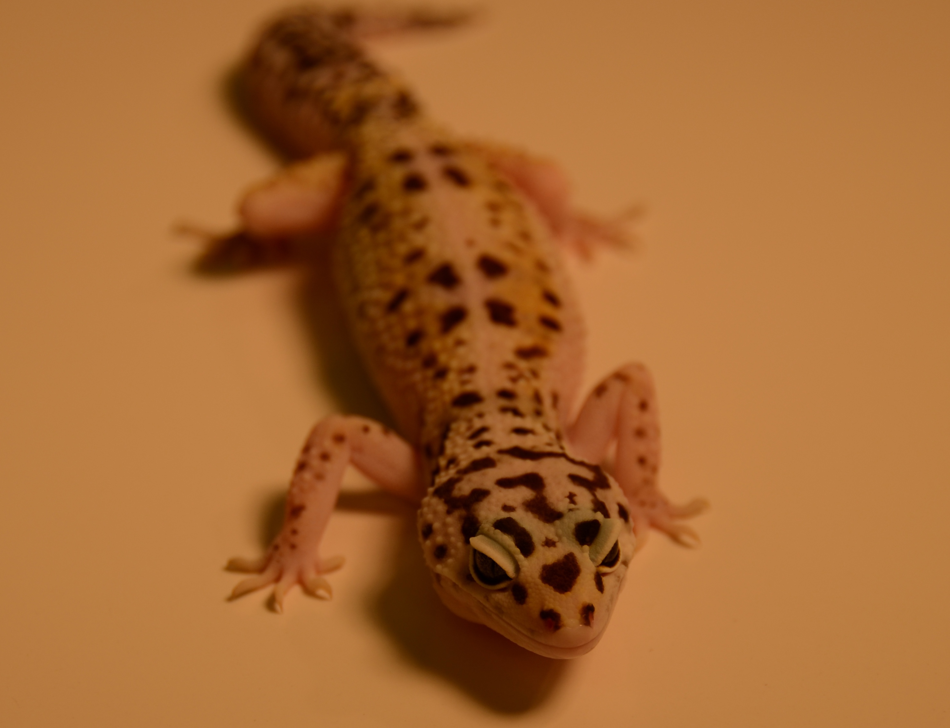Why Do Geckos Need Tails?