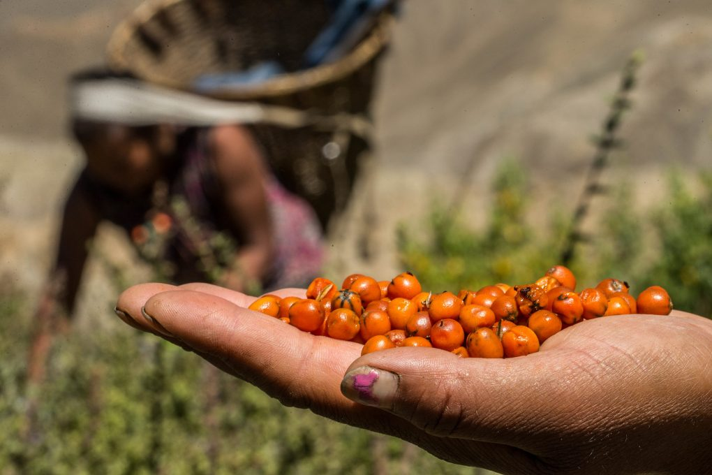 Sea Buckthorn Comes to the Rescue of Mountain Villages in Pakistan