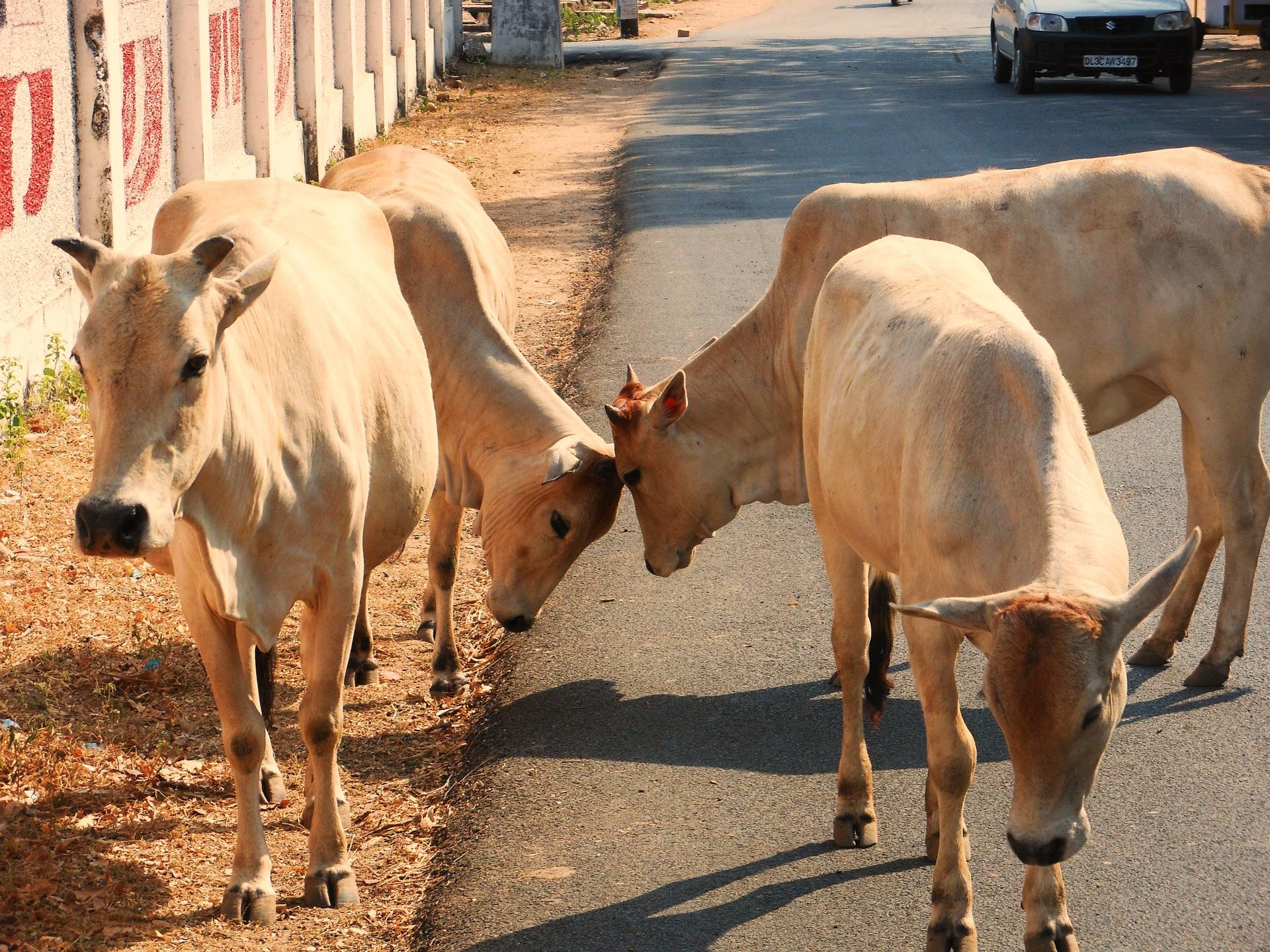 Modi Government's Stance on Slaughter Proves It Doesn't Really Care About Cows