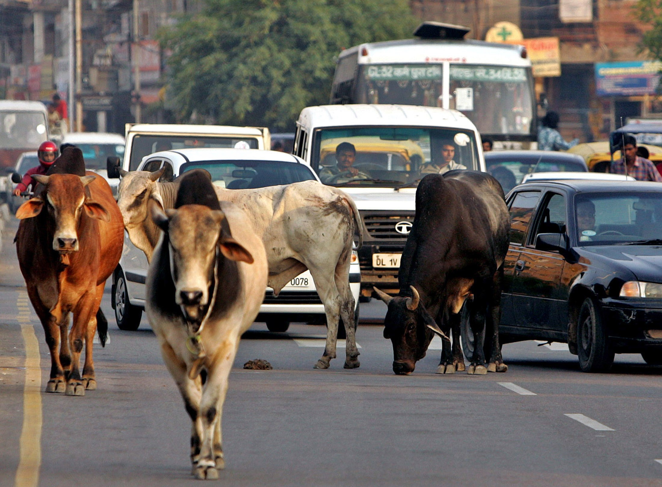 Laws Prohibiting Cow Slaughter Are Creating Both Vigilantes and Victims