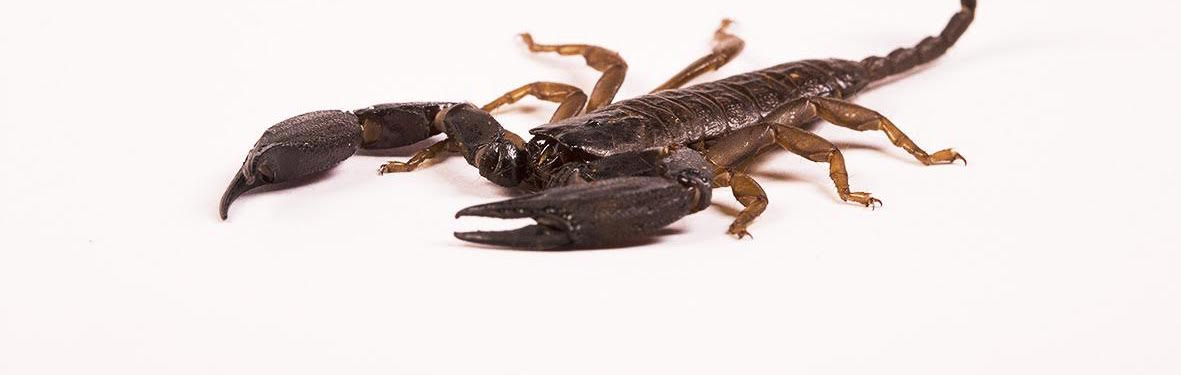 Scorpions Are Not One-Hit Wonders – They Have Venoms for All Occasions