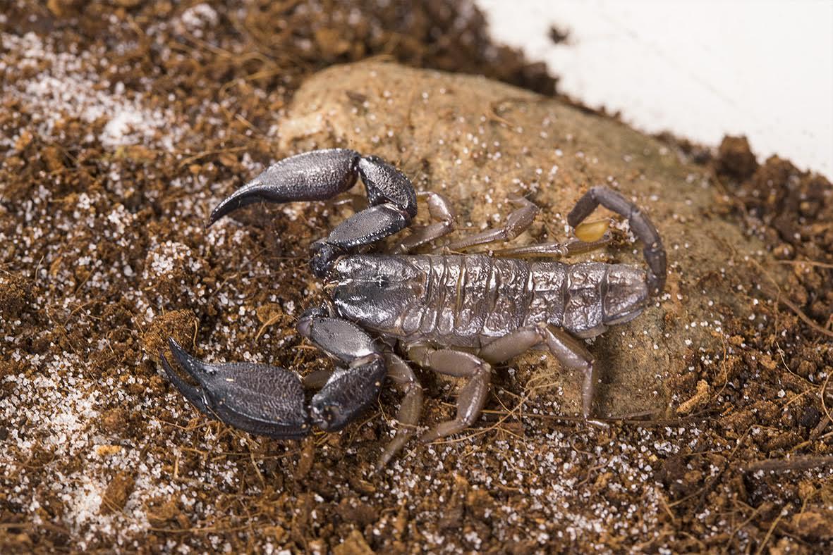 An Australian rainforest scorpion. Credit: David Wilson