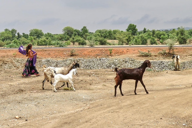 Grazing goats, not school, is the default option for most teenage girls in rural Bhilwara. Credit: swissinfo.ch