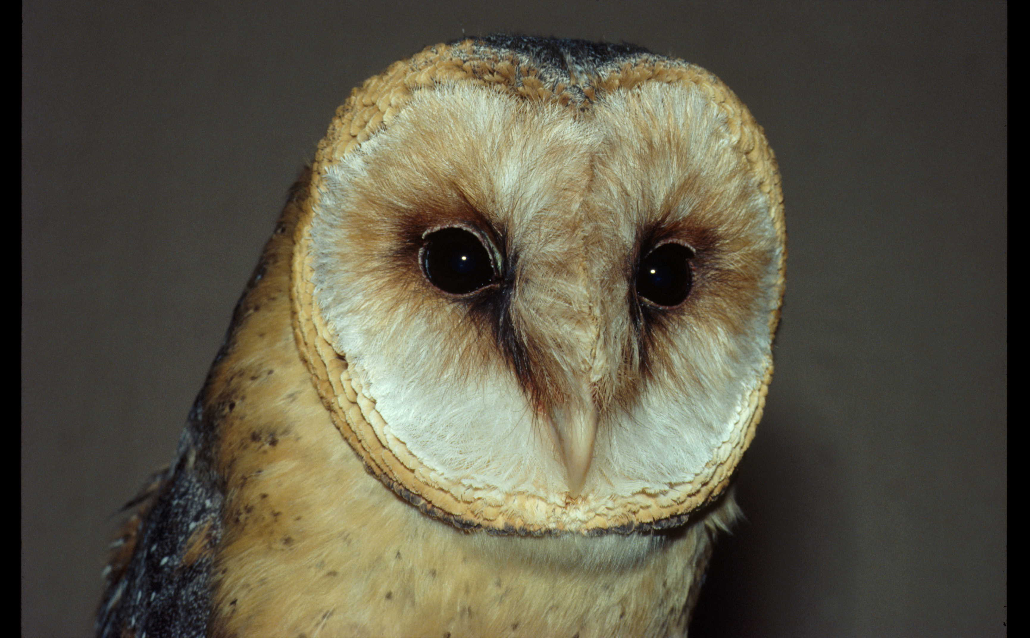 It's a Hoot Being an Owl – They Don't Become Deafer With Age