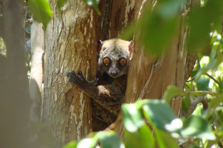 A lemur in a community managed forest in northern Madagascar. Photo by Zuzana Burivalova.
