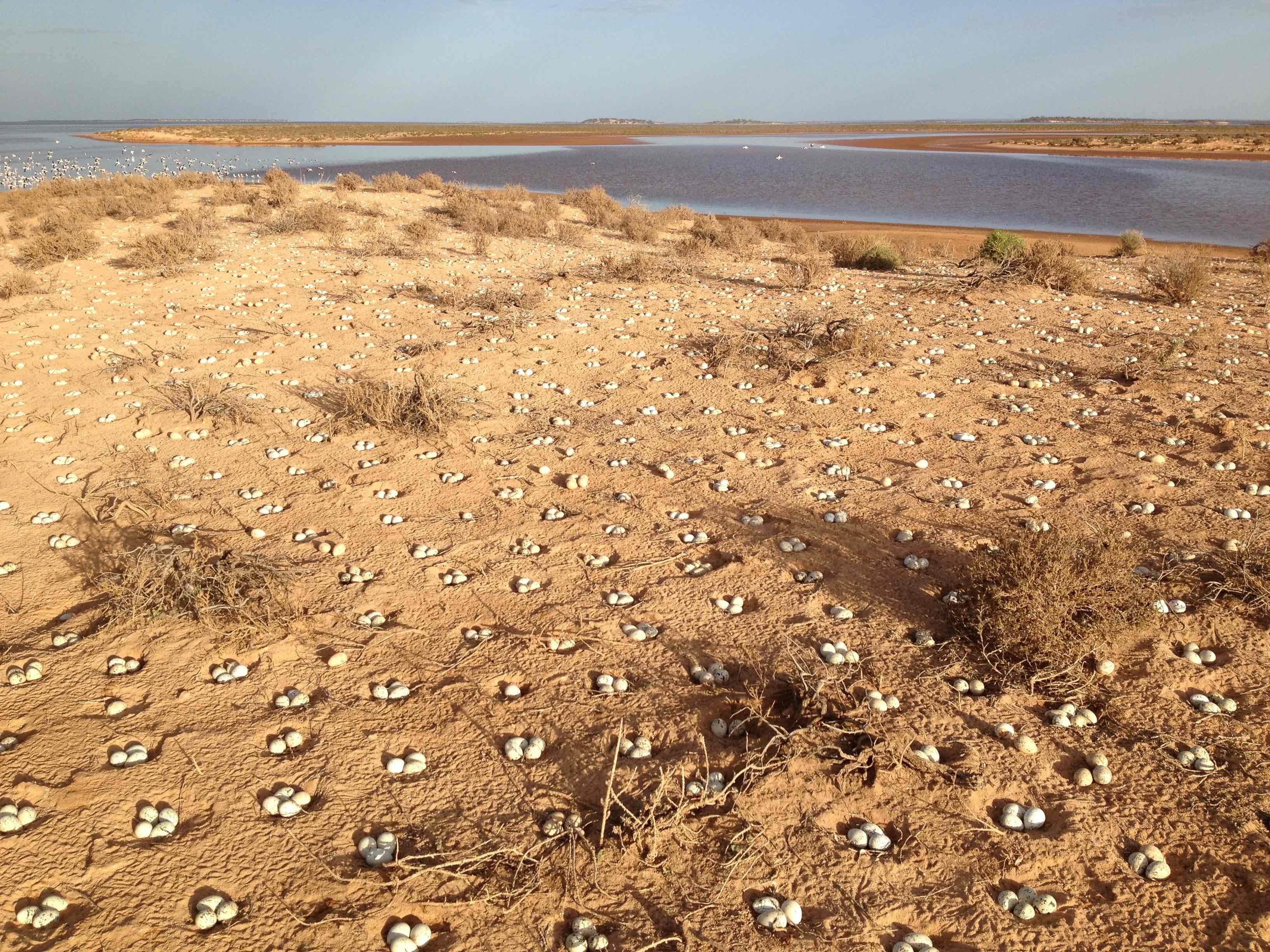 Nests on the bank of Lake Ballard. Credit: Reece Pedler