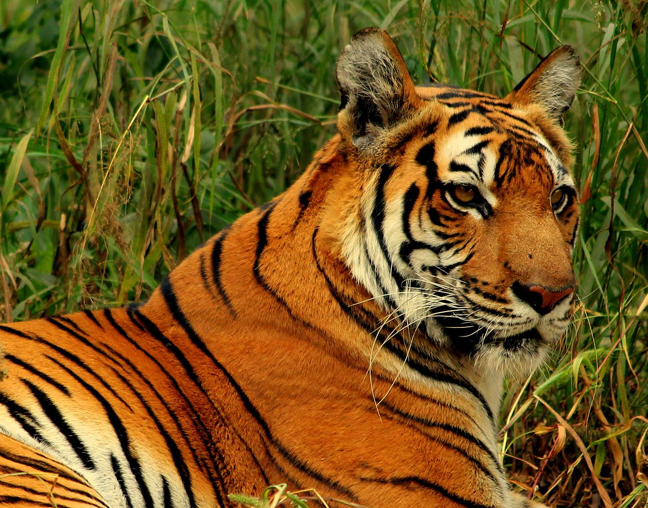 The Bengal Tiger. Credit: Wikimedia Commons