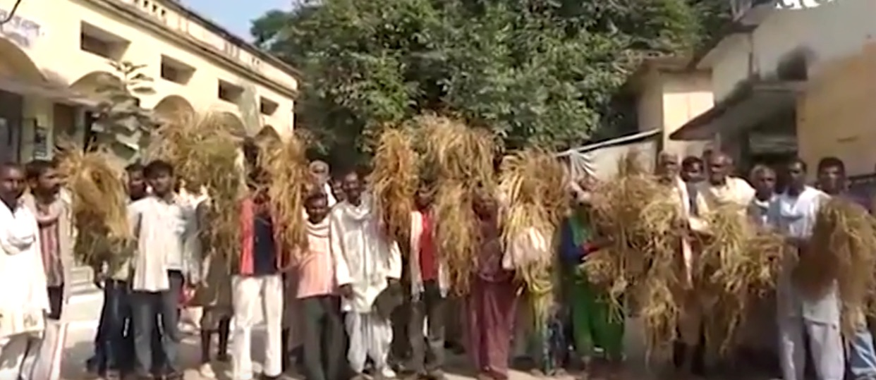 After Crop Disease Destroys Harvest, UP Farmers Left With Empty Stomachs and Grain Stores