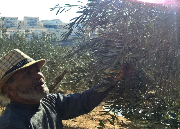 Mohammad Manasra, also known as Abu Nader, picks olives on his lands in the southern Occupied West Bank village of Wadi Fuqin on 10 November 2017, as the Israeli settlement of Beitar Illit lies in the distance. Credit: MEE/Chloé Benoist