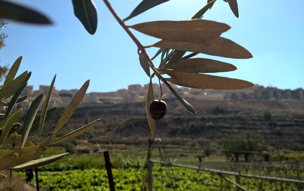 Bitter Harvest: Israeli Settlements Close in on Palestinian Olive Farmers