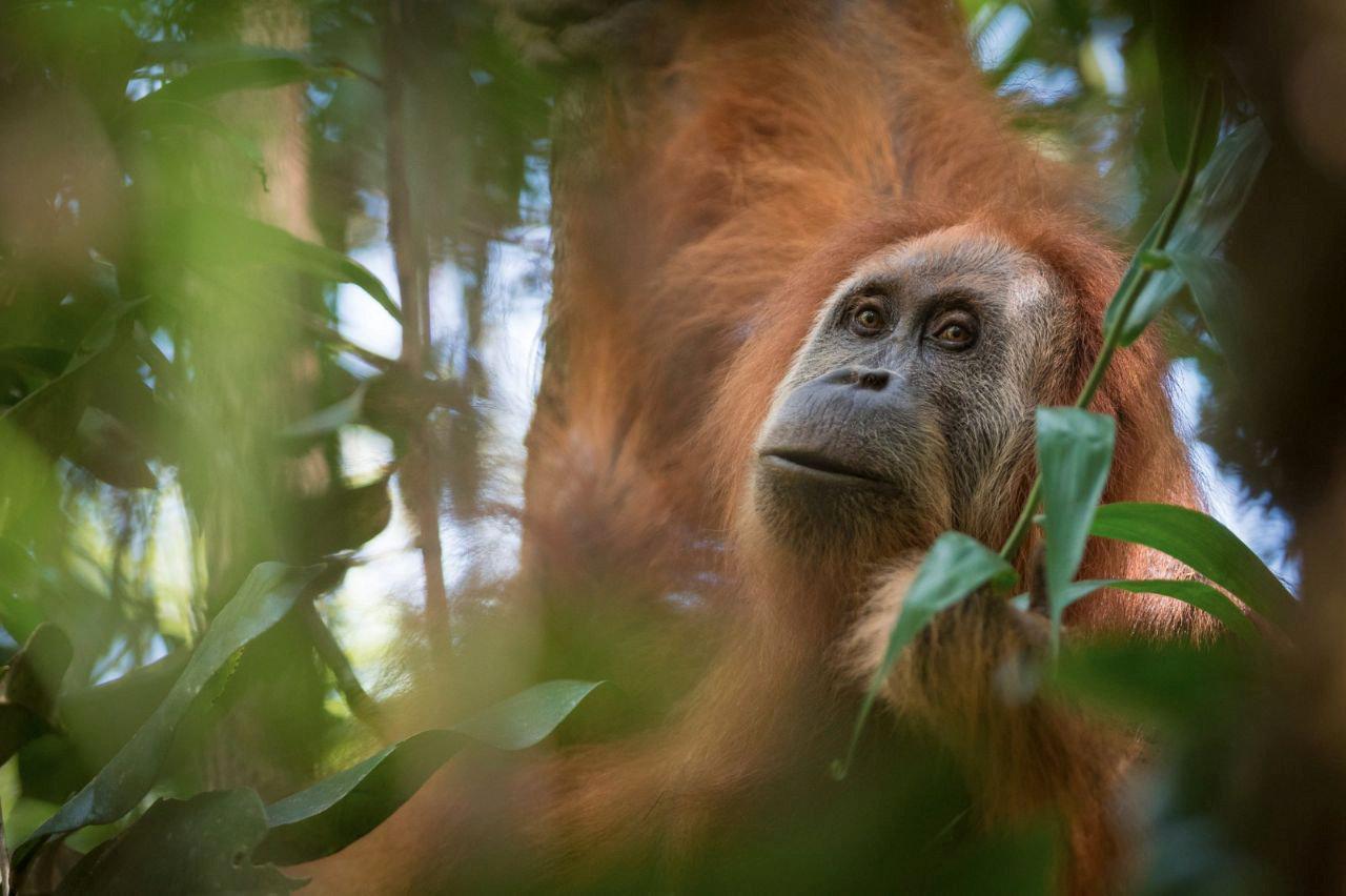 A New, Endangered Species of Orangutan Found in Indonesia