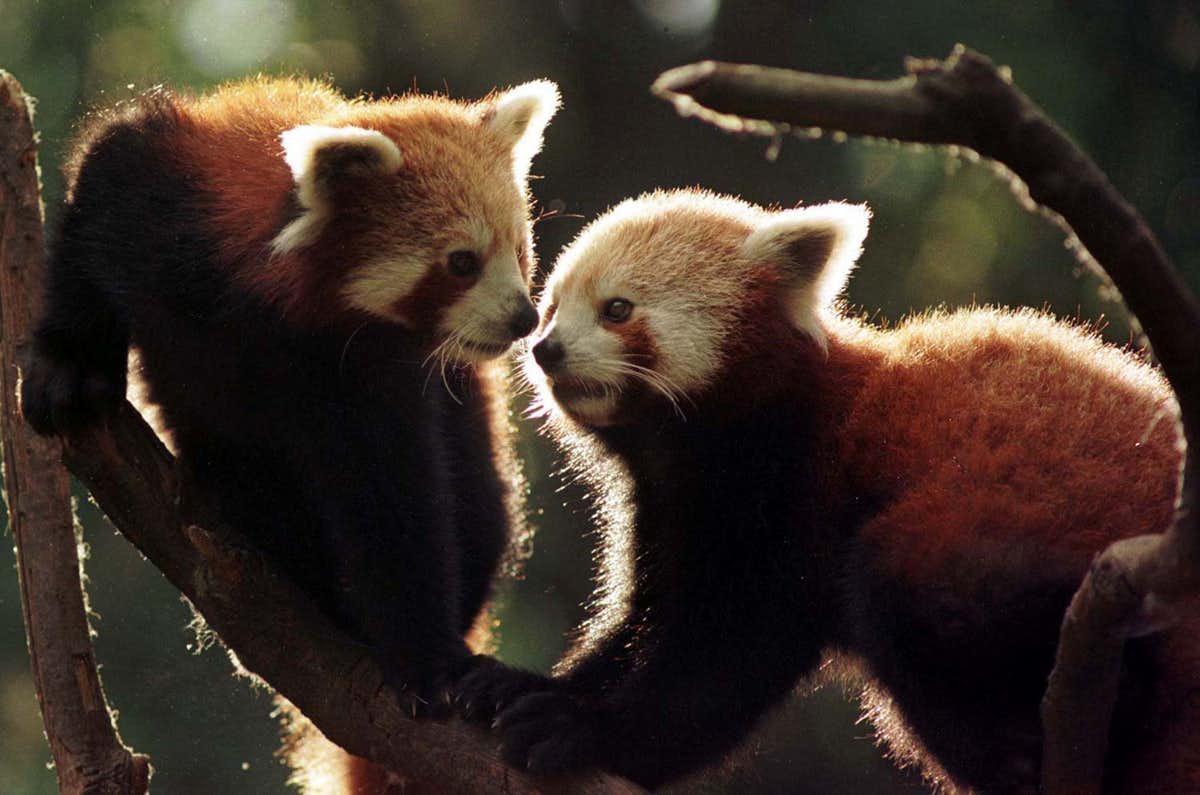 Himalayan Panda cubs in a zoo in Darjeeling. Credit: Reuters