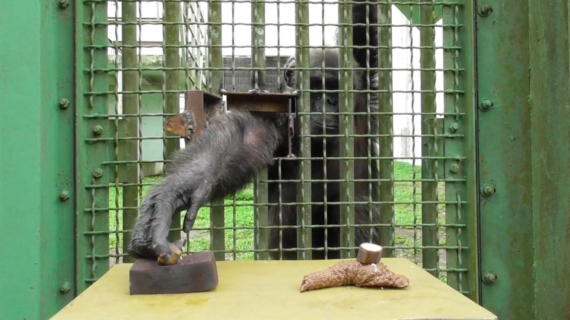 Testing if chimpanzees avoid excreta on sight… Credit: Cecile Sarabian