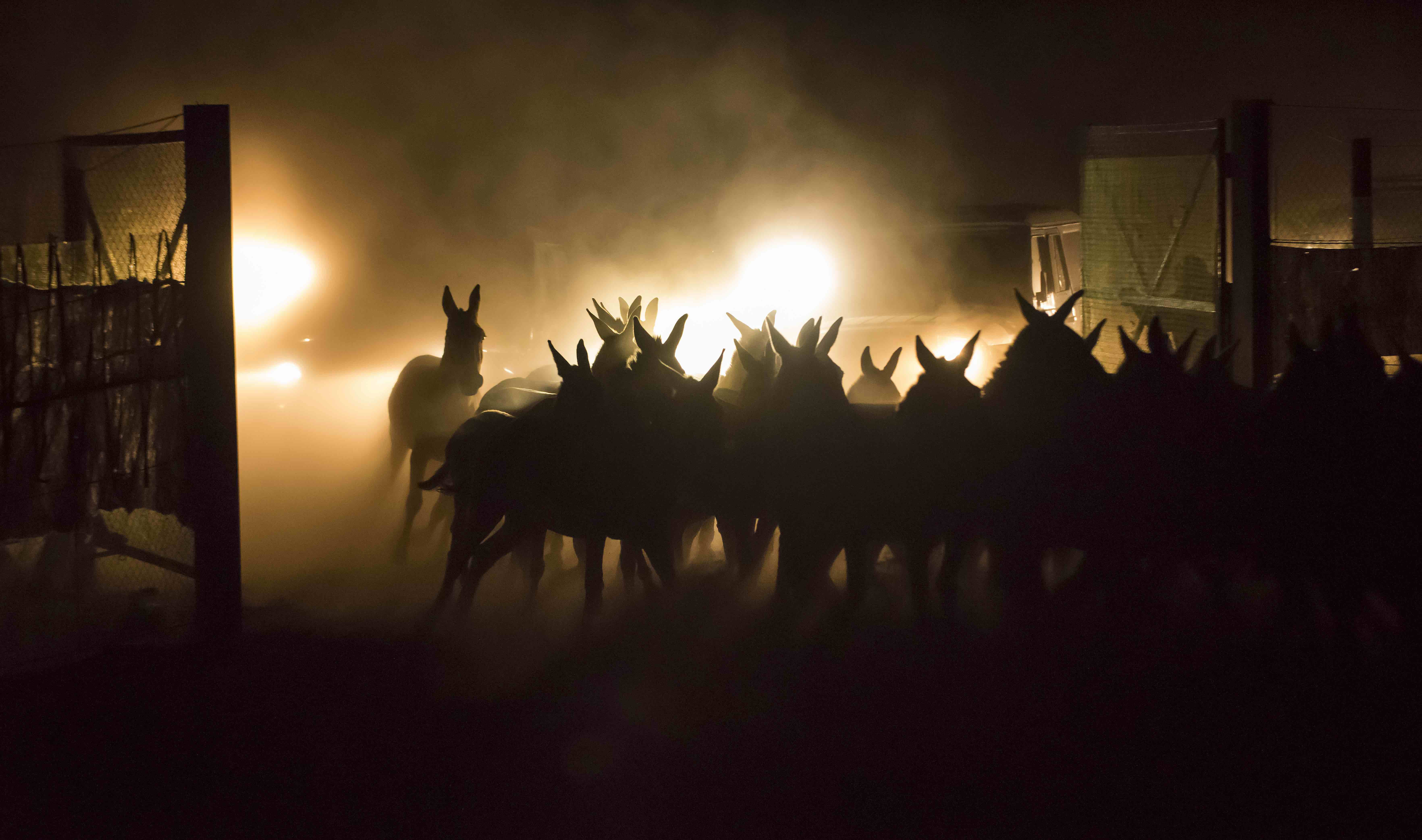 Kulans being herded by cars at night towards a capturing corral to be relocated to Torgai. Altyn Emel NP, Kazakhstan. © Daniel Rosengren