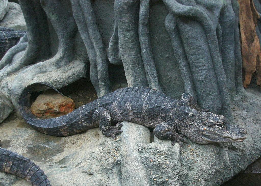Is a Bottleneck Effect Endangering Chinese Alligators?