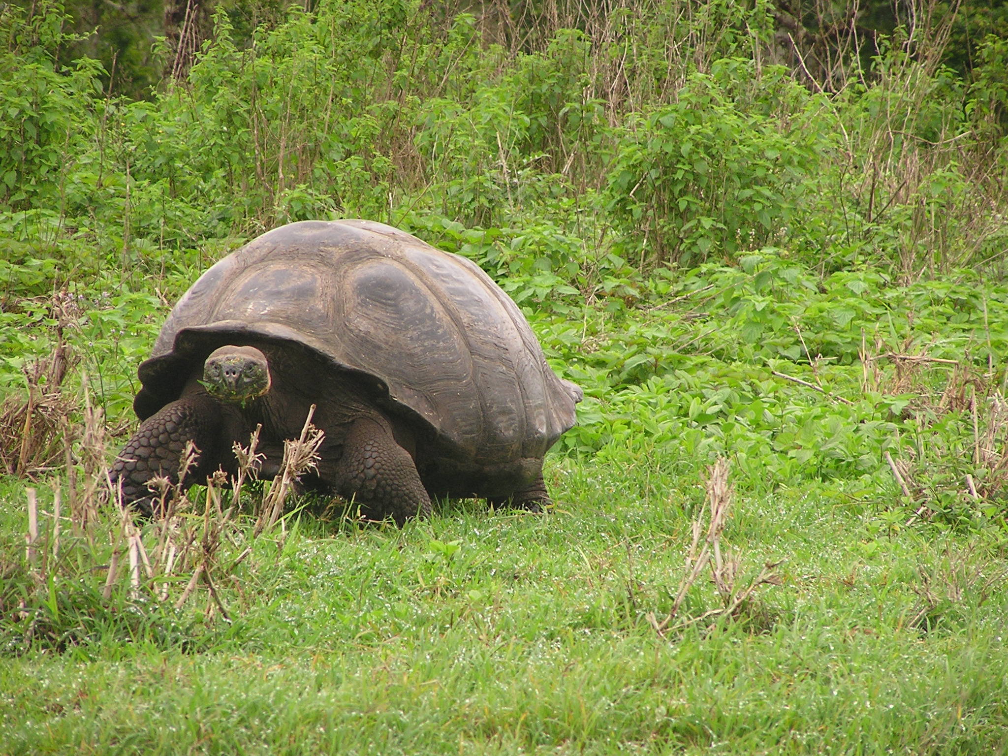 A Galápagos tortoise with domed carapace Credit: Ylenia Chiari
