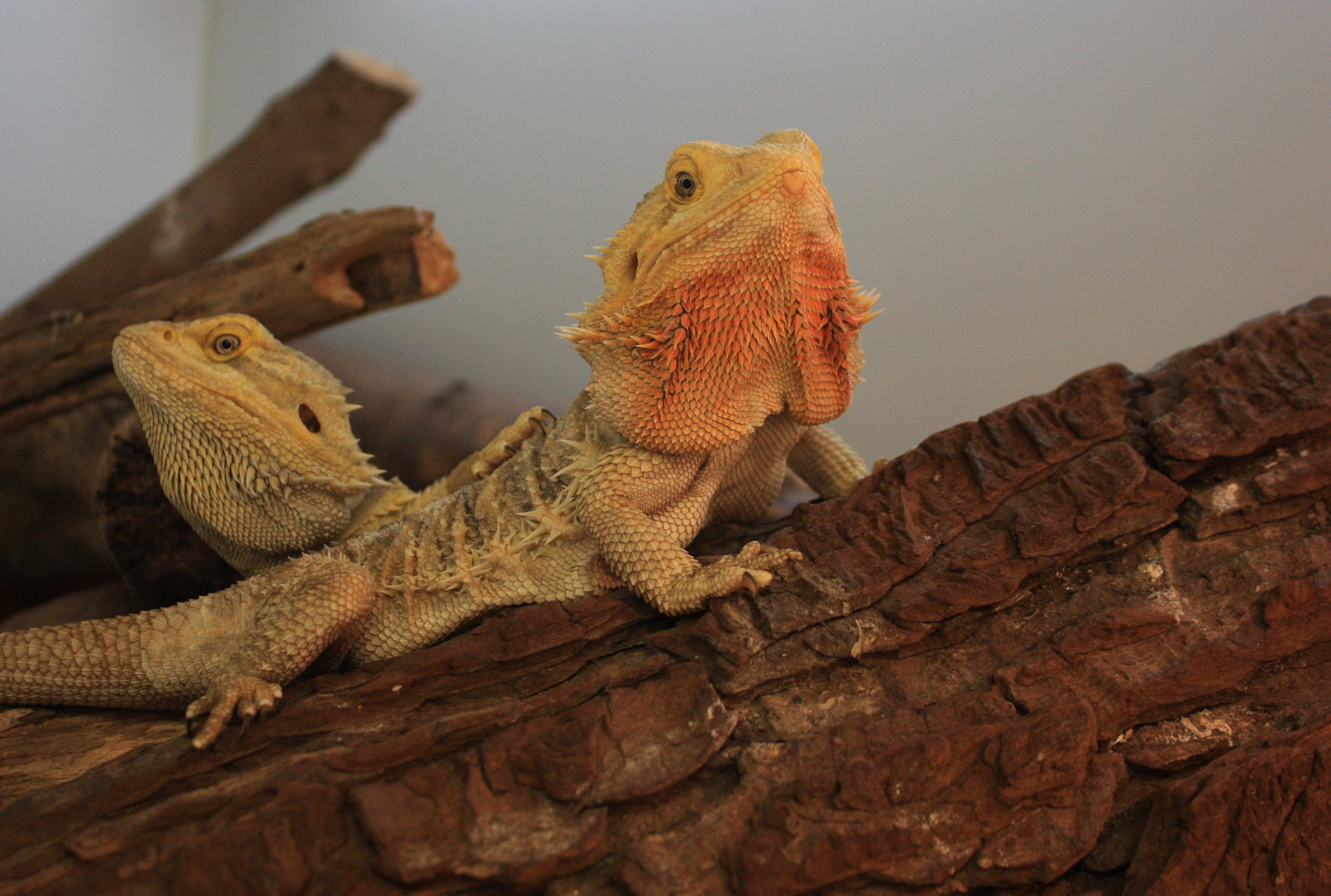 Bearded dragons learn to solve problems by watching others. Credit: Sophie A. Moszuti