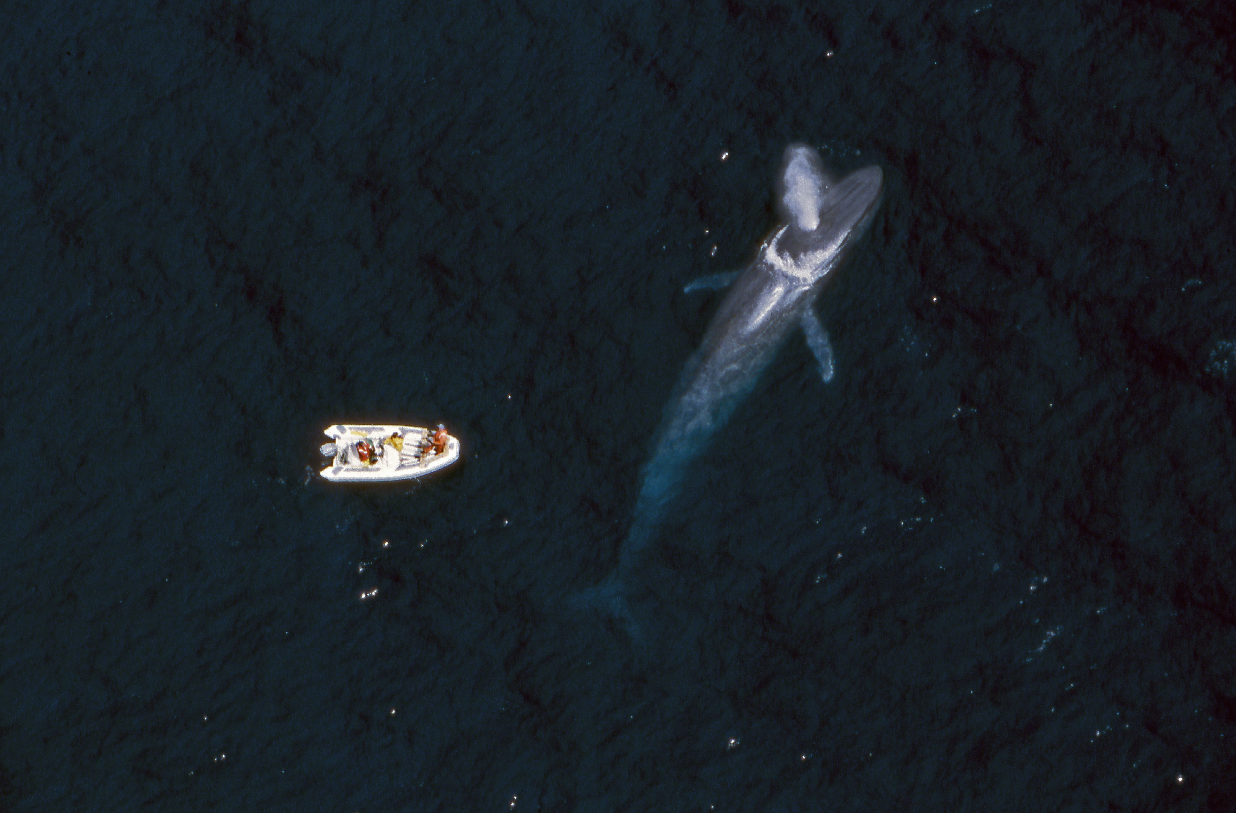 A blue whale spouts near a research boat. Credit: Flip Nickin, Minden Pictures