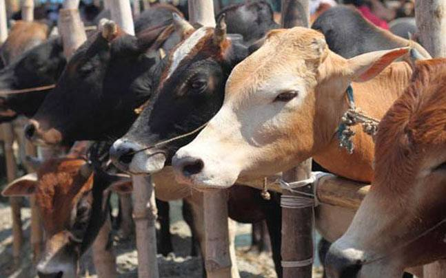 A Desi Cow Each as Prize for Haryana Women Boxers