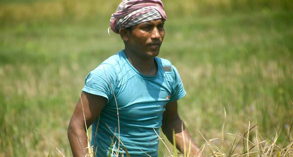 A migrant daily wage worker at a rice field in Perumbavoor village of Ernakulam district. Credit: Centre for Migration and Inclusive Development